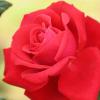 初夏の花を英語で描写する (ラベンダー、バラ、紫陽花(アジサイ))